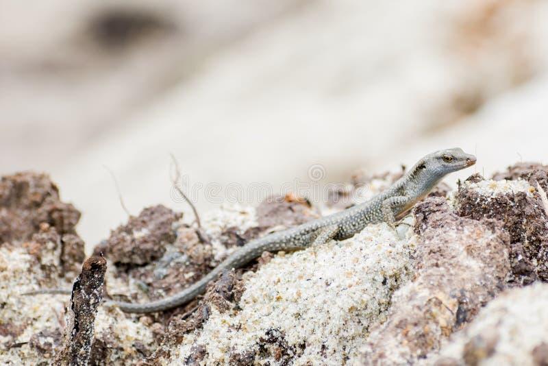Baby-Alligatoreidechsenaufenthalt und Stillstehen auf Felsen stockfoto