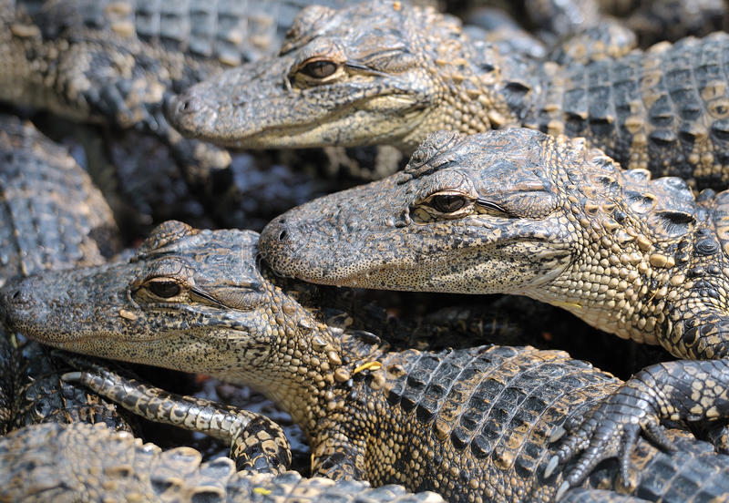 Baby alligators. Group of baby alligators all looking in same direction stock photography