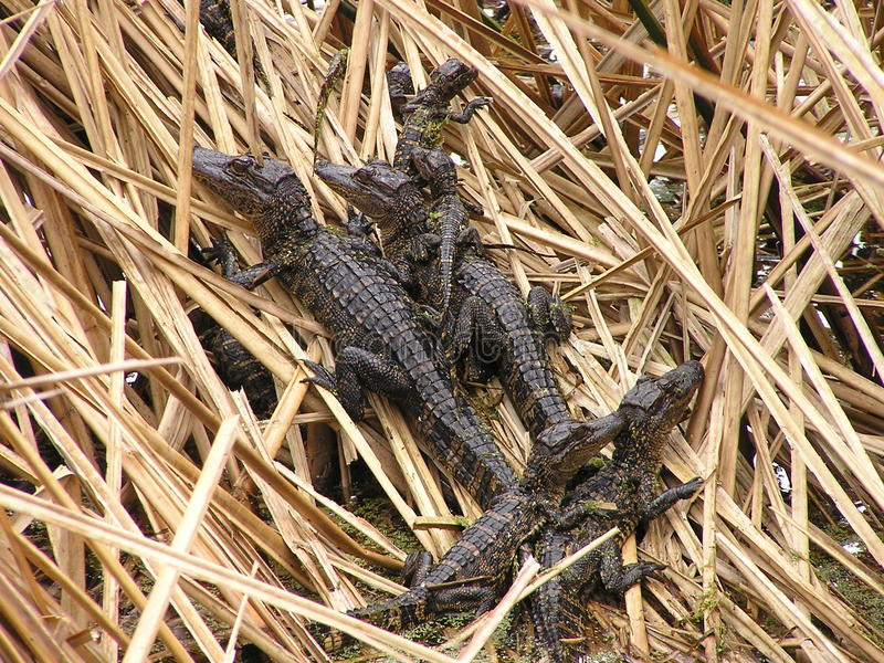 Baby alligators in nest. Small baby alligators in nest of reeds royalty free stock photo