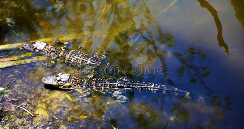 Baby Alligators resting in an Everglades pond along Monroe Junction. Baby Alligators pond Everglades Monroe Junction Florida Swamp sunning warm resting colors royalty free stock image