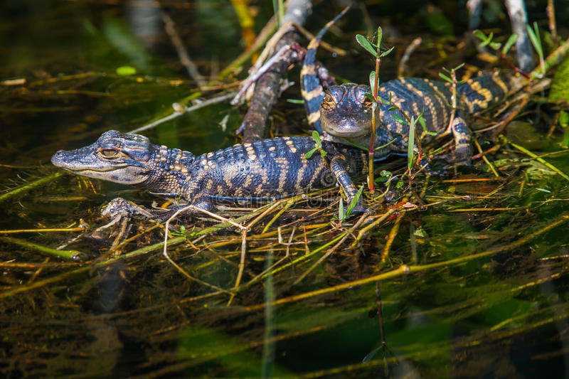 Baby Alligators. Two Young Alligators Resting On A Grassy Mound In A Swamp stock photos