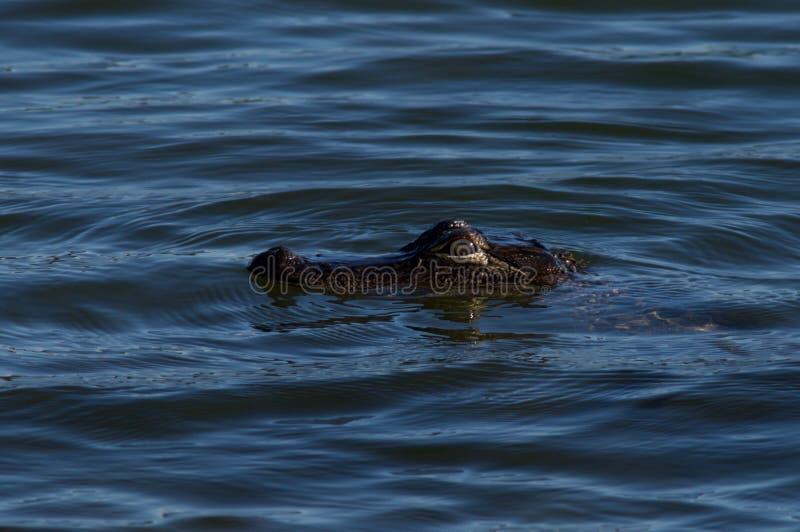 Baby-Alligatorschwimmen lizenzfreie stockfotos