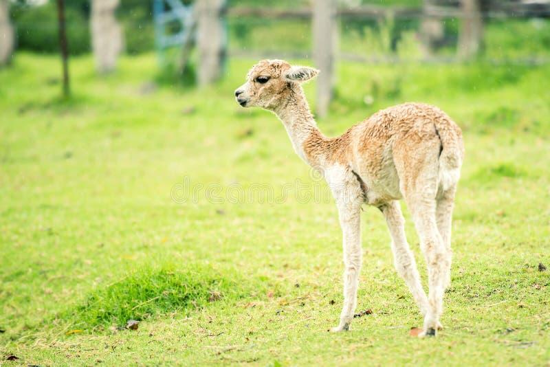 Baby-Alpaka, auch genannt Cria stockfotografie