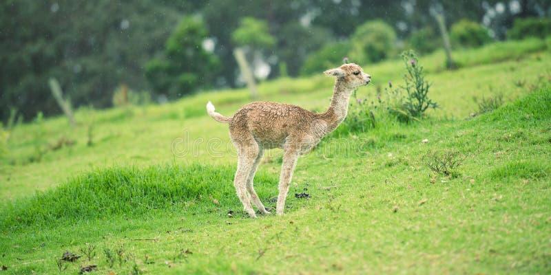 Baby-Alpaka, auch genannt Cria stockbild