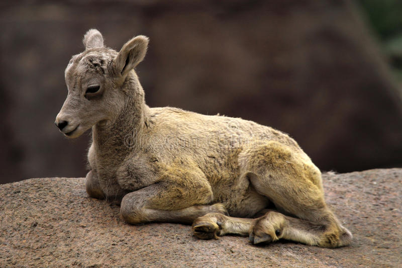 Baby Alpine ibex. Alpine ibex are mountain animals royalty free stock photo