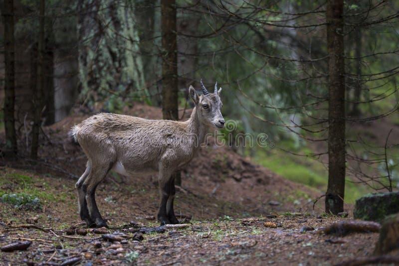 Baby alpine ibex in a wood. Baby alpine ibex, Capra ibex, standing in a wood stock photo