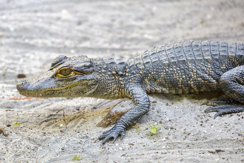 Baby Alligator On The Sand stock photography