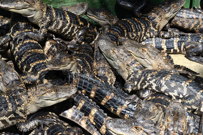 Baby American Alligators. American Alligator Farm Baby Alligators Florida stock images