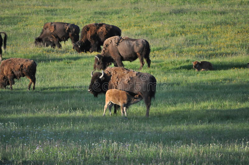 Baby american bison buffalo nursing. Off mother in yellowstone national park royalty free stock images