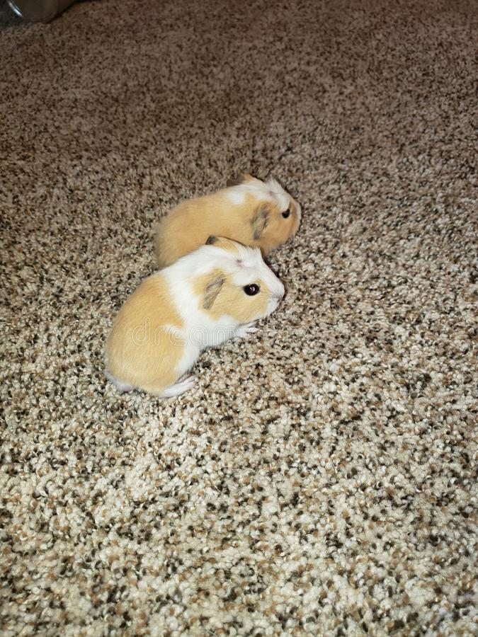 Baby american dutch guinea pigs royalty free stock photography