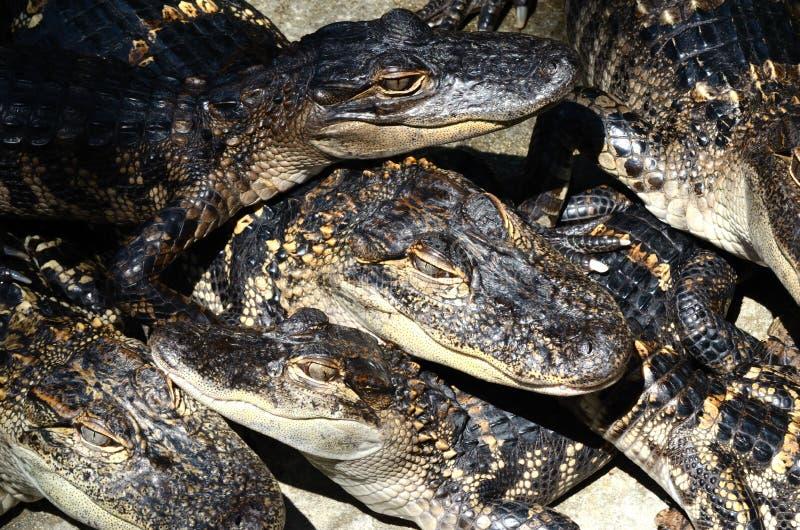 Baby Amerikaanse Alligators 2 royalty-vrije stock afbeelding