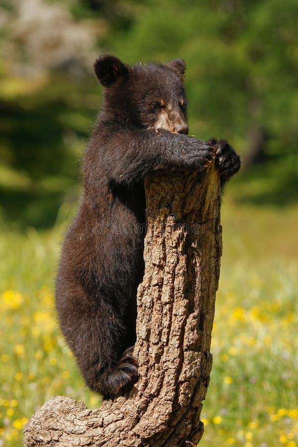 Baby-Amerikanischer Schwarzbär stockfoto