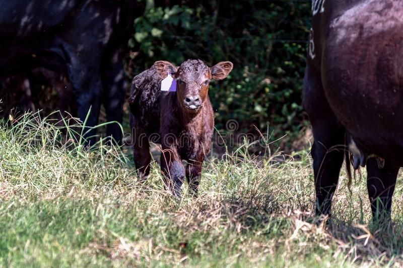 Baby Angus calf between two cows royalty free stock images