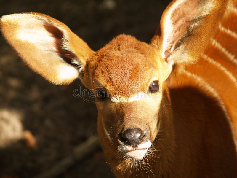Baby antelope. Nosy baby antelope with huge ears stock images
