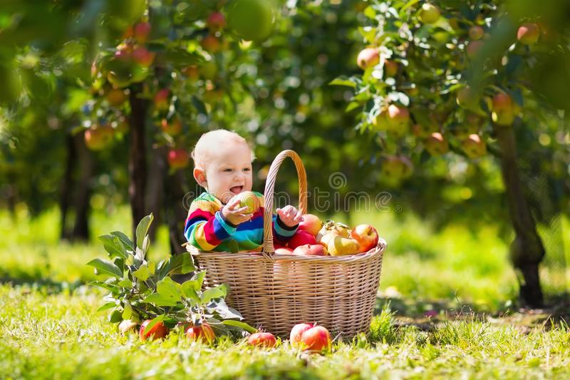 Baby in apple basket in autumn fruit orchard stock photo
