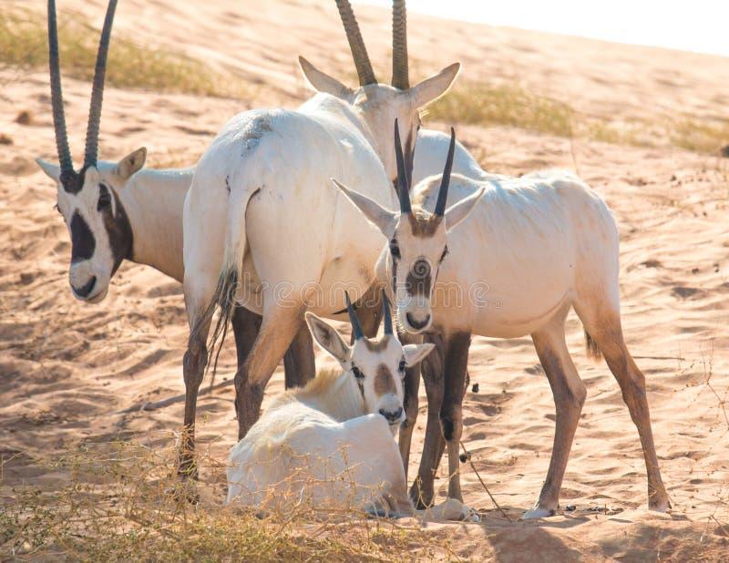 Baby arabian oryx with her family. Dubai, UAE. royalty free stock photo