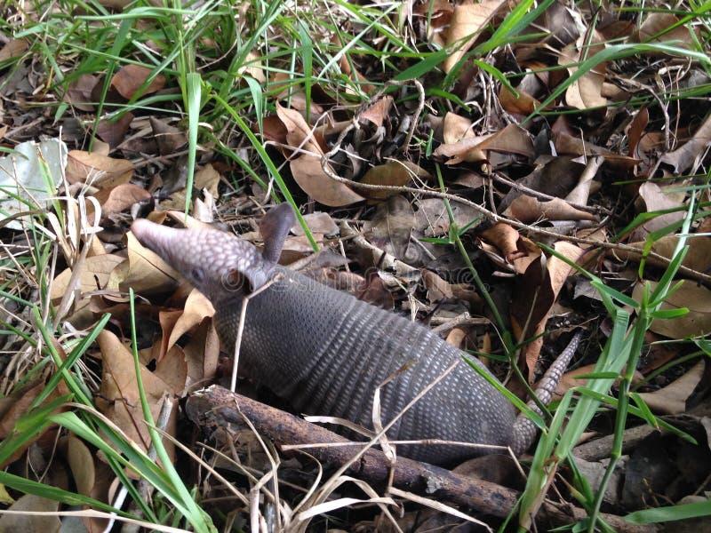 Baby Armadillo in Woods. Dasypus Novemcinctus (Nine-banded Armadillo) Baby in Woods in Daytona, Florida royalty free stock photo