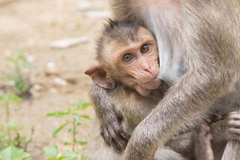 A baby asian monkey with her mother stock image