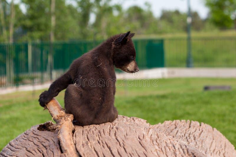 Baby-Bär, der auf einem Klotz sitzt stockfotos