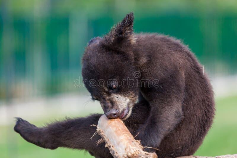 Baby-Bär, der eine Niederlassung beißt lizenzfreie stockfotos