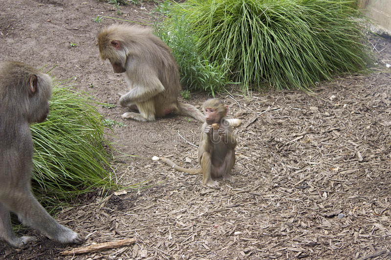 Baby Baboon. Eating at Melbourne Zoo stock photography
