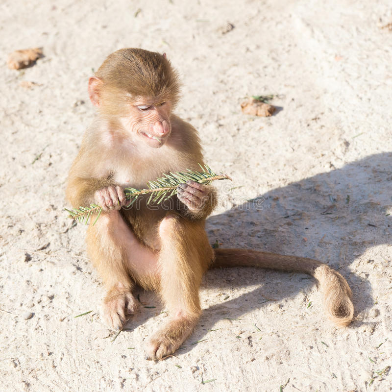 Baby baboon sitting. On a rock, eating something royalty free stock images