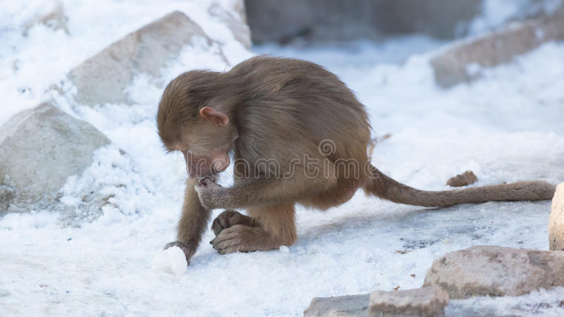 Baby baboon sitting. On a rock, eating something royalty free stock photos