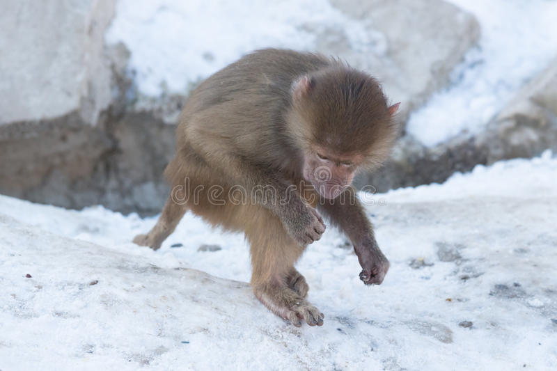 Baby baboon sitting. On a rock, eating something stock image