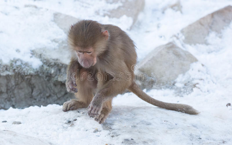 Baby baboon sitting. On a rock, eating something stock photography