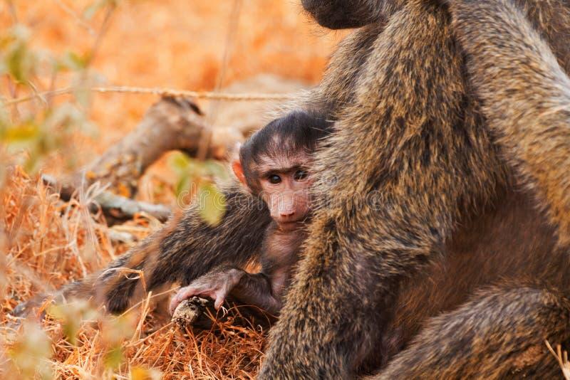 Baby baboon. Sucking in Kenya royalty free stock photography