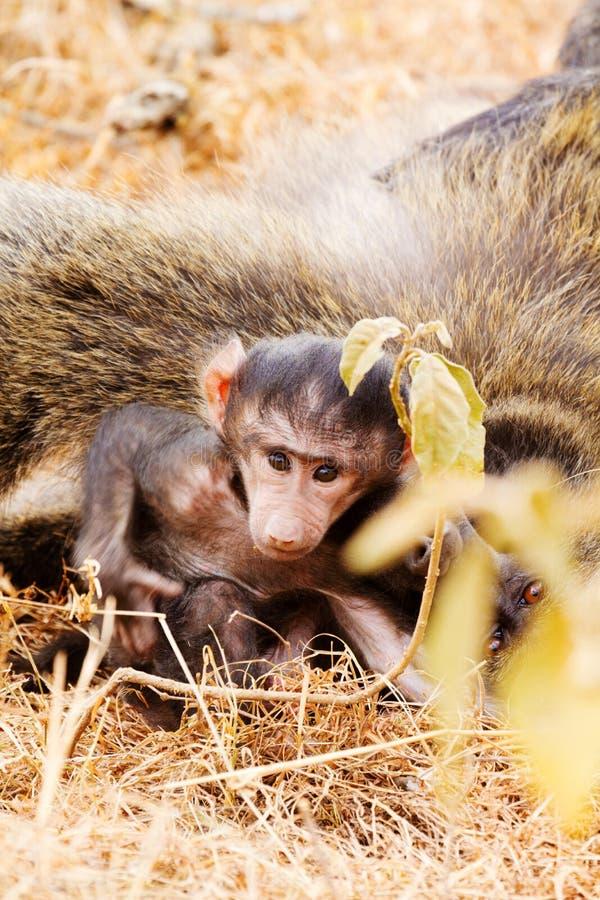 Baby baboon. Sucking, Kenya shot from above stock photo