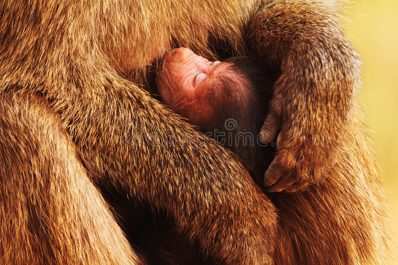 Baby baboon. Sucking shot from above stock photo