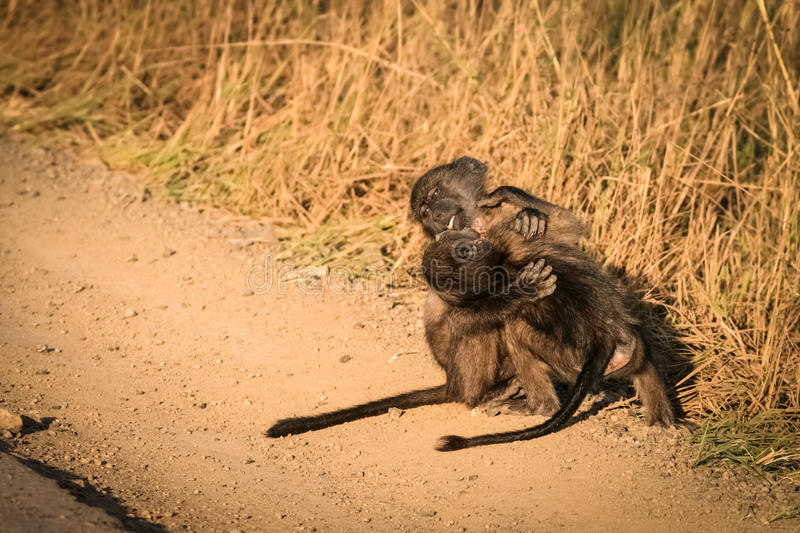 Baby baboons royalty free stock photos