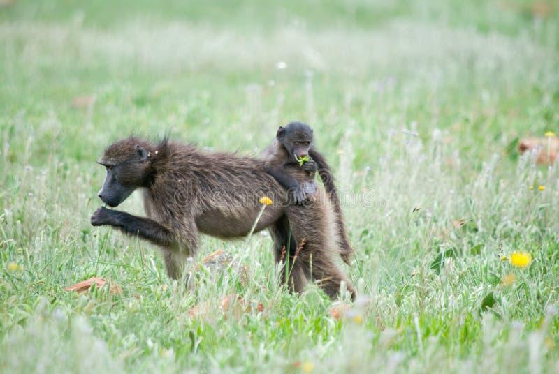 Baby on back of female baboon stock photo