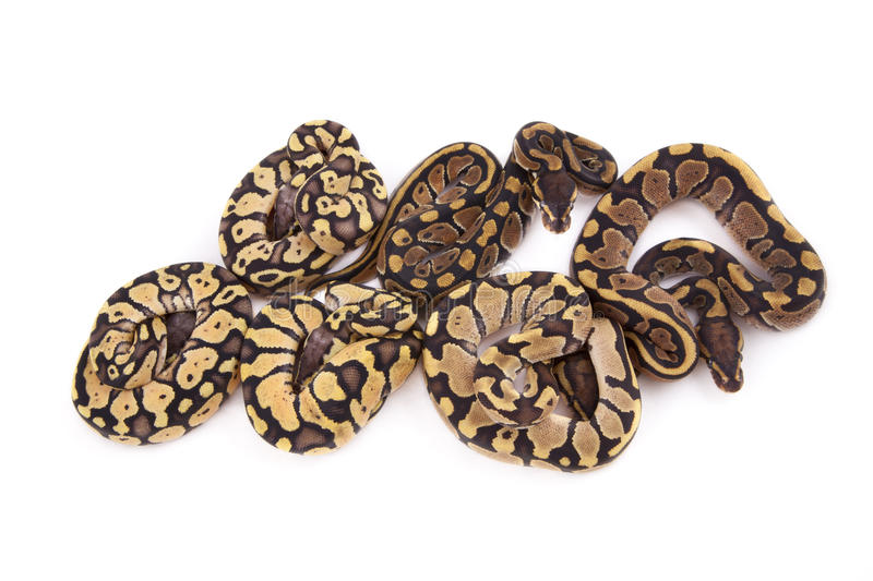 Download Baby Ball Pythons, Firefly, Fire And Pastel Morphs Stock Image - Image: 20550547