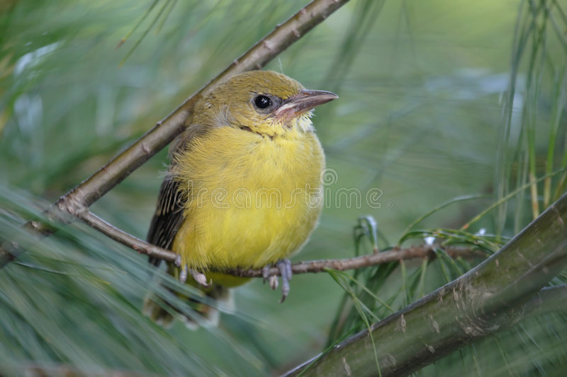 Download Baby Baltimore Oriole Royalty Free Stock Image - Image: 5480486