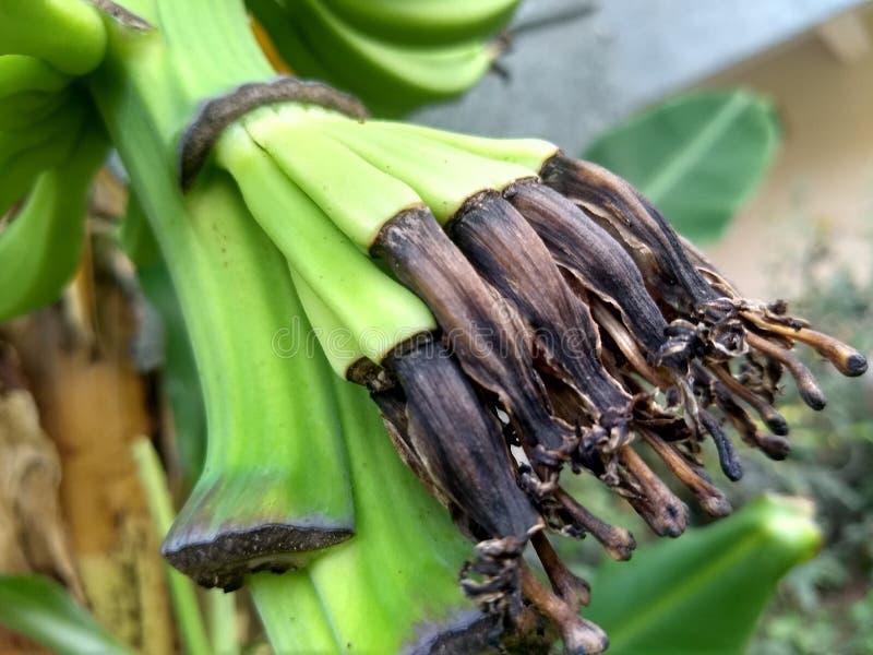 Baby bananas are growing from banana flower in garden area stock photos