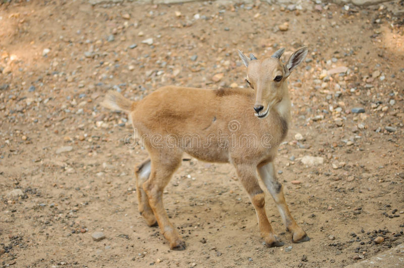 Baby barbary sheep. The Barbary sheep is a species of caprid native to rocky mountains in North Africa royalty free stock photo