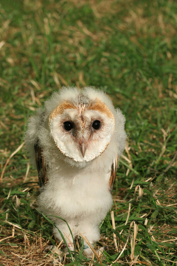 Baby Barn Owl stock images