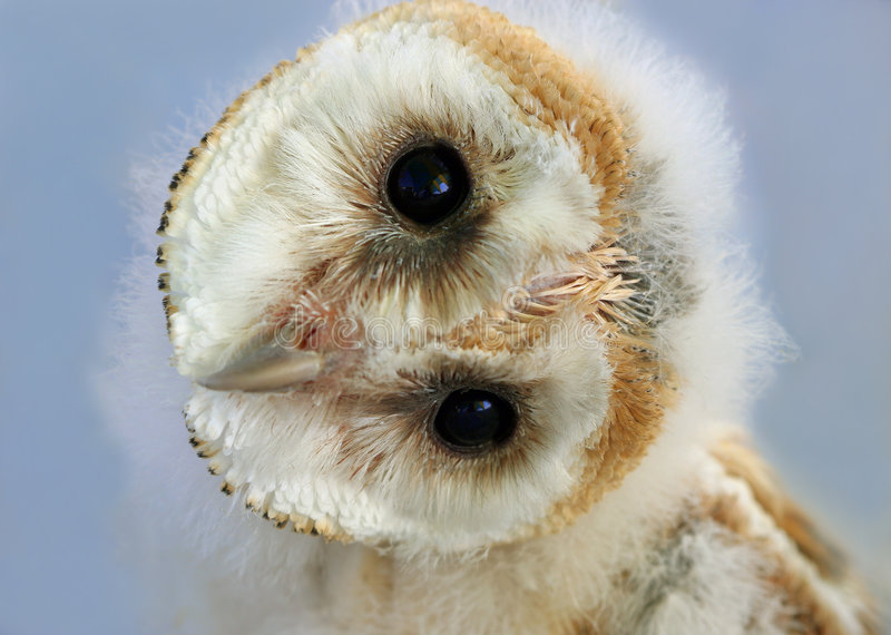 Baby Barn Owl stock photos