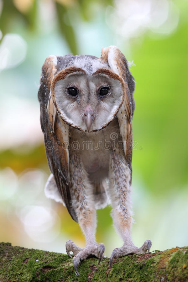 Baby Barn Owl Royalty Free Stock Photos