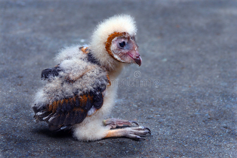 Download Baby Barn Owl stock image. Image of fluff, eyes, circular - 2693181
