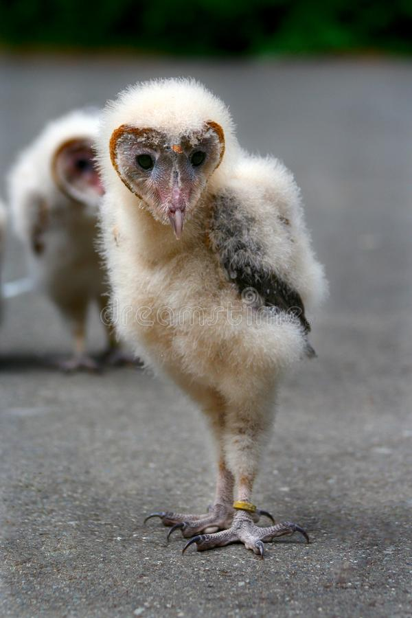Baby Barn Owl royalty free stock photo