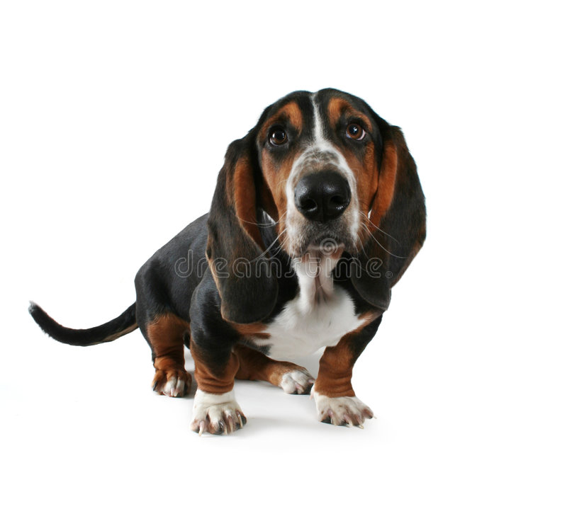 Download Baby basset stock image. Image of hound, small, funny - 5954353