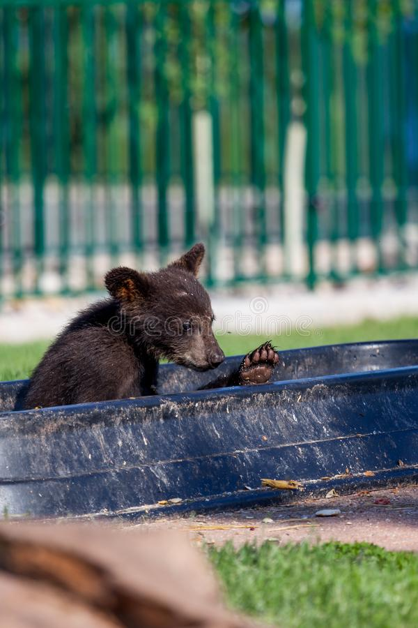 Baby Bear in a Bowl royalty free stock image