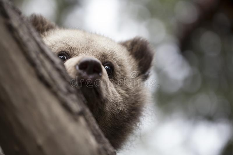 Half face baby bear behind tree stock images