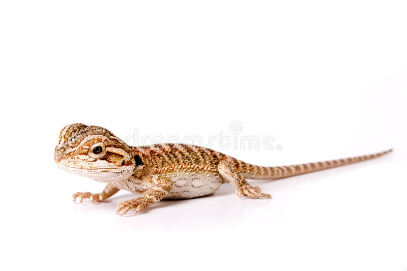 Baby Bearded Dragon stock images