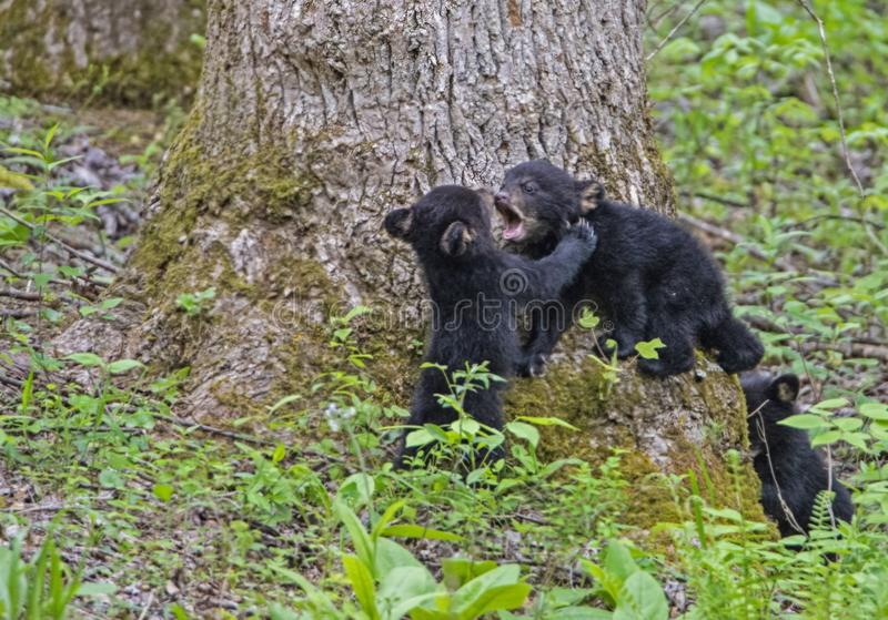 Three Black Bear Cubs playing together. royalty free stock photography