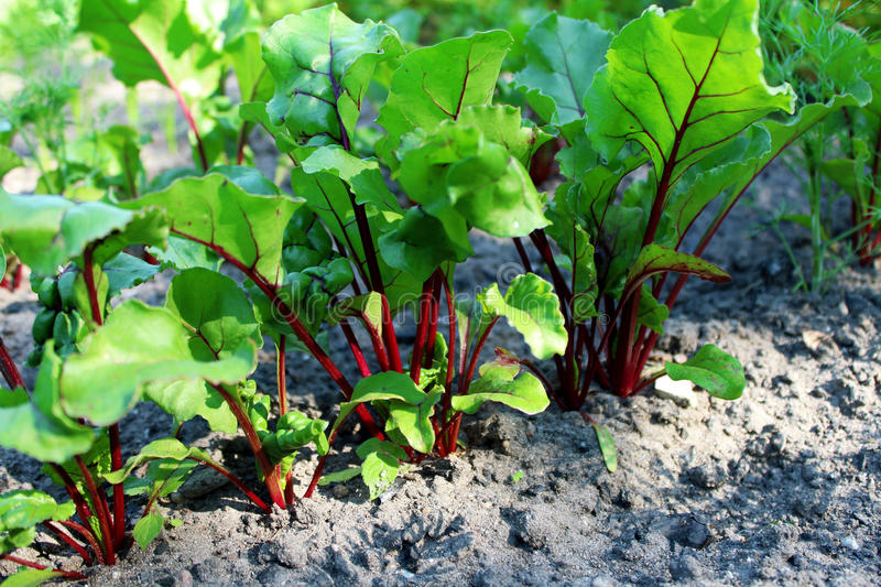Baby beets stock image