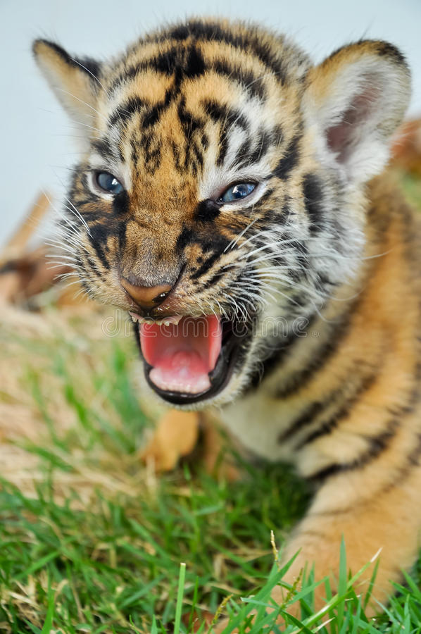 Free Baby Bengal Tiger Stock Photography - 32654512